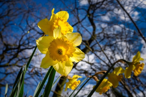 Daffodils in the sun, March 2019