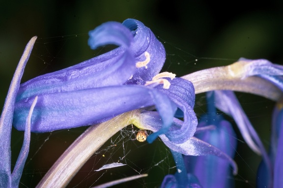 Bluebell with Spider, April 2019