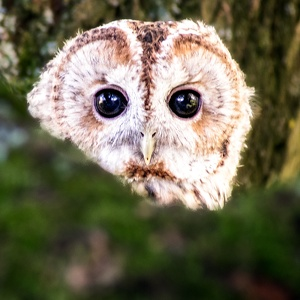 Young Tawny Owl, September 2016