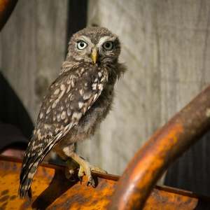 Young Little Owl, September 2016