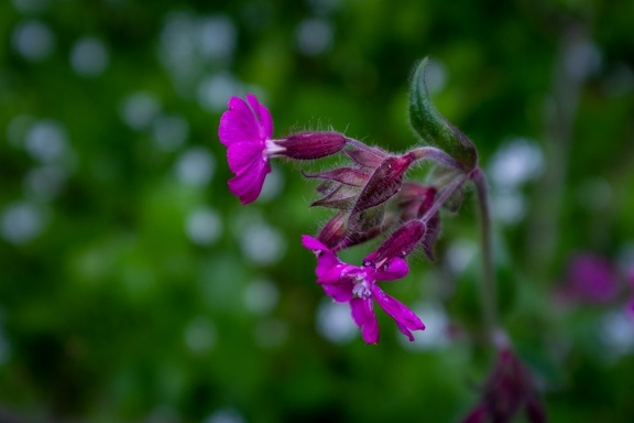 Red Campion, May 2019
